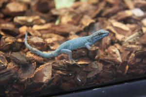 Himmelblauer Zwergtaggecko